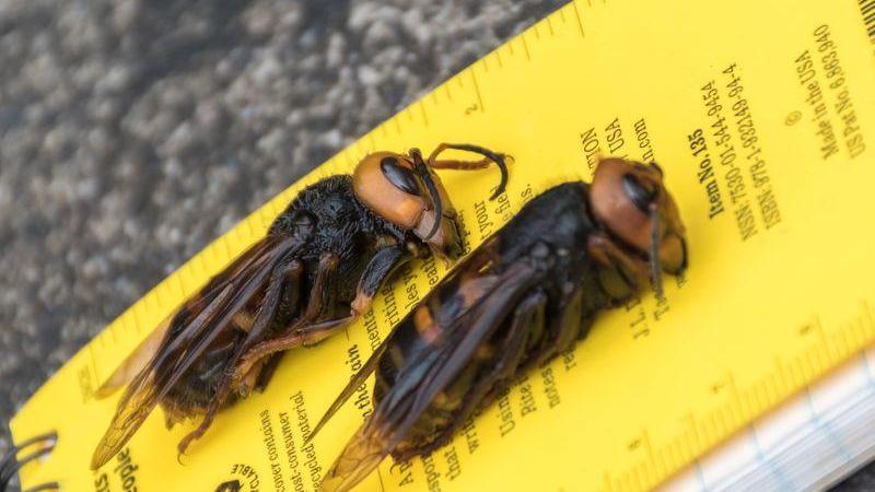 Vespas assassinas - após meses de tentativas, EUA conseguem capturar inseto