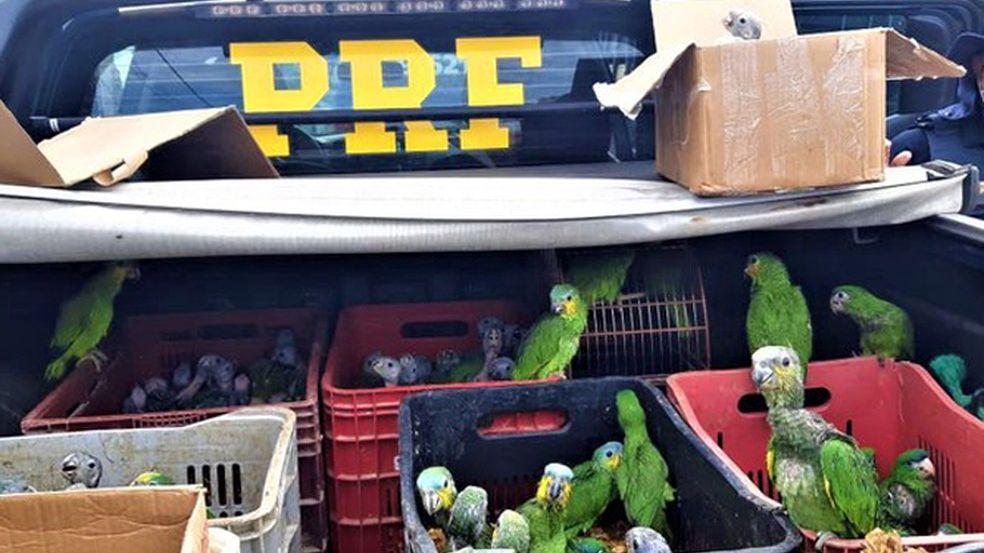 Papagaios apreendidos em operação
