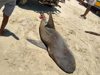 Tubarão morto no último domingo, no litoral de Cascavel