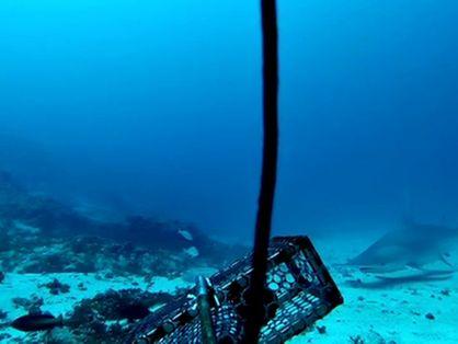 Tubarão-martelo-panã