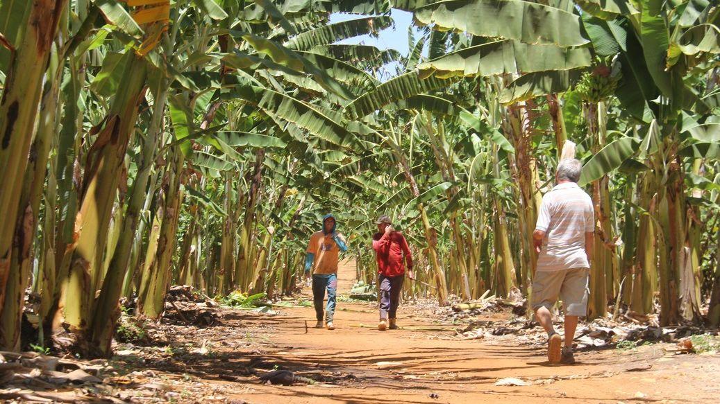 Plantação de Banana