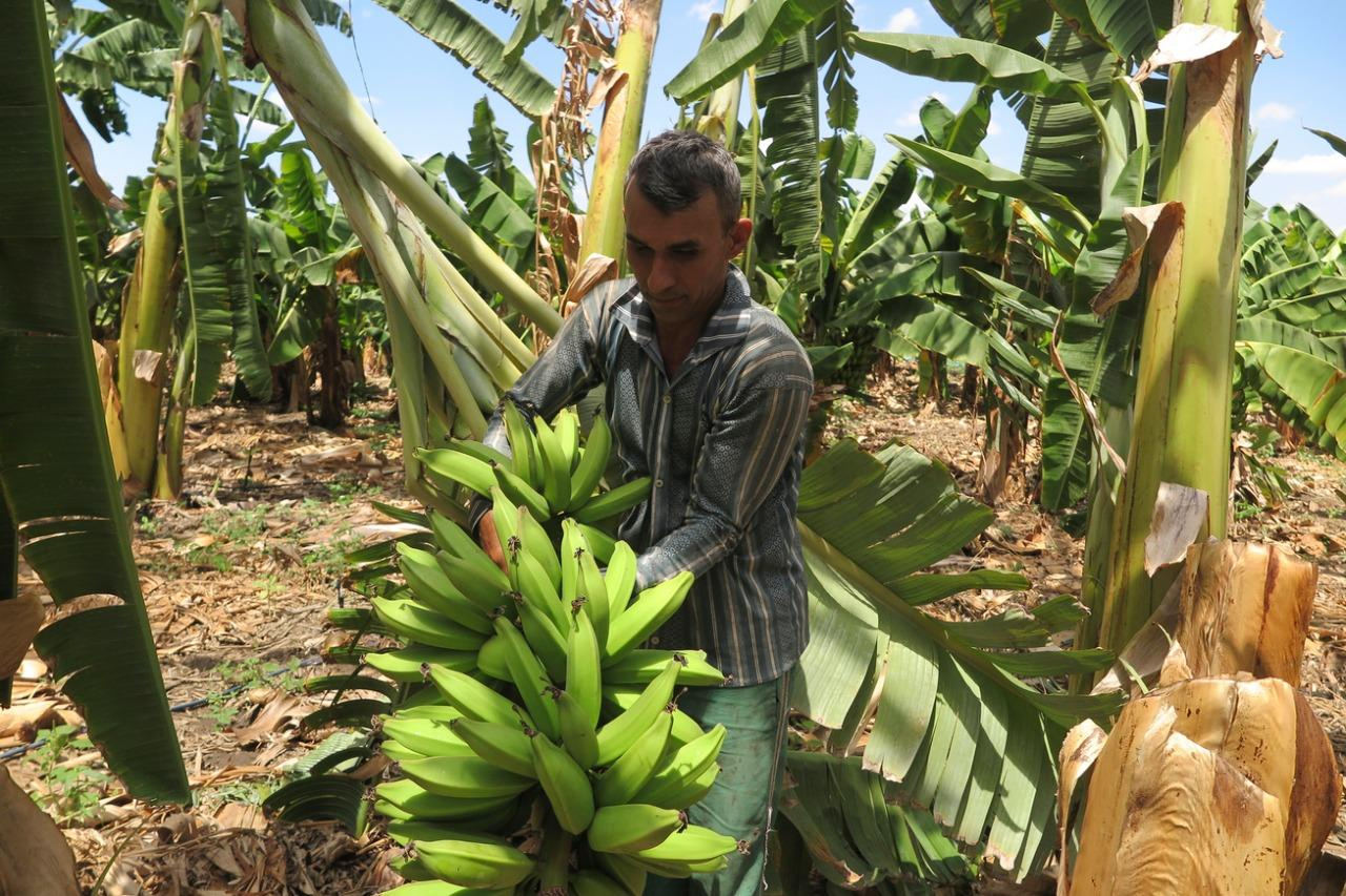 Plantação de banana em Iguatu