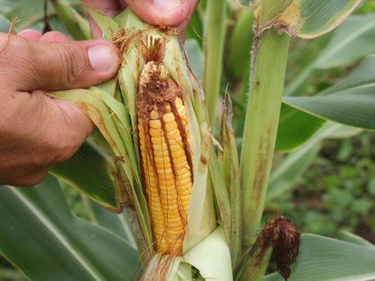 Plantação de milho na zona rural de Iguatu