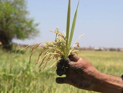 Colheita do cultivo de arroz