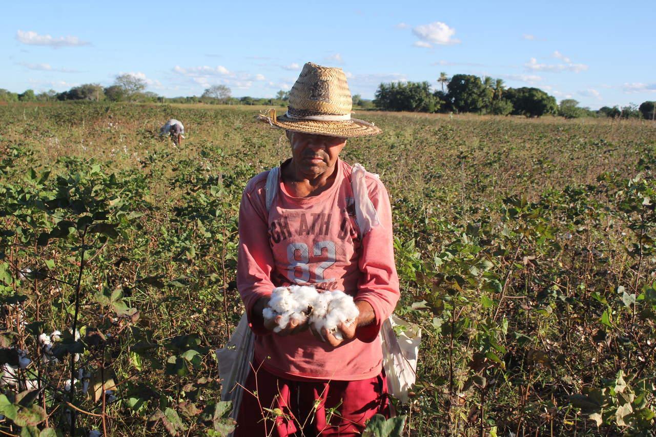 algodão no centro-sul