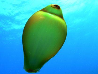 Ovo de tubarão-lixa