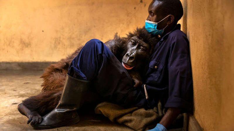 Gorila africana famosa por selfie morre nos braços de guarda que a cuidou durante 14 anos
