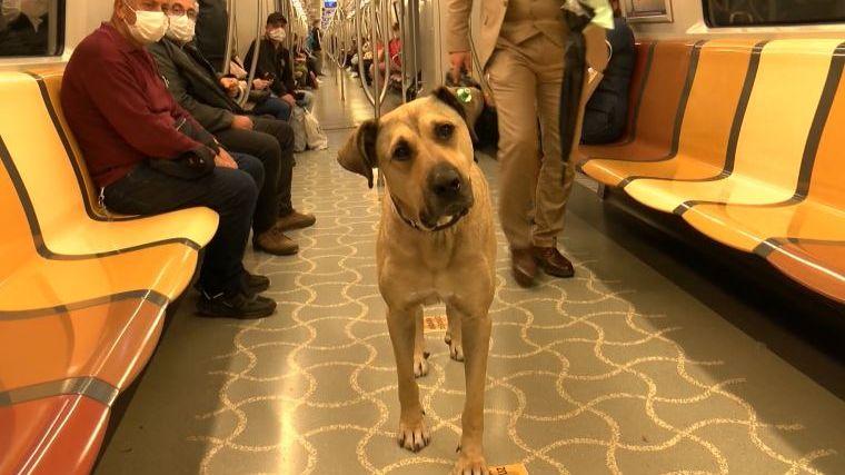 cachorro pega diariamente transporte público em Istambul
