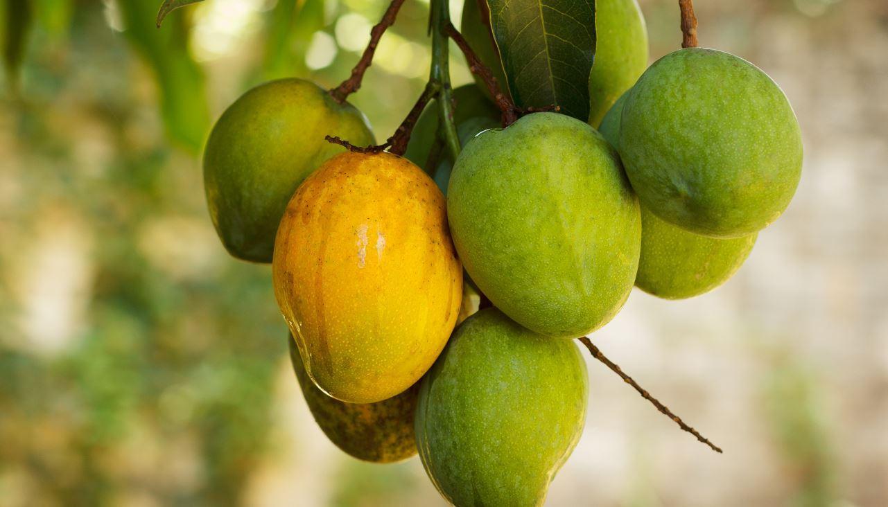 Cacho de mangas com frutas verdes e uma madura