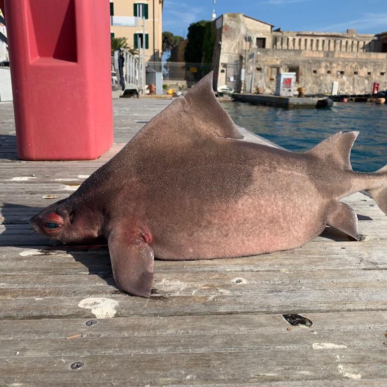 Tubarão-áspero-angular achado na Itália visto de lado