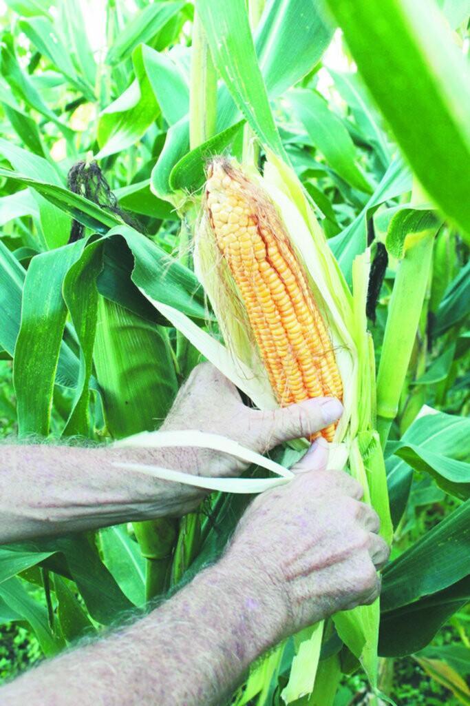 Em Várzea Alegre, a safra de milho já é considerada elevada, mesmo em área menor