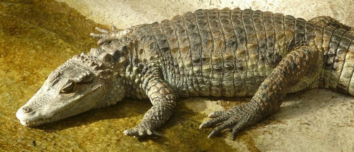 O animal que era mantido pelo jovem pode chegar a 2,5m de comprimento